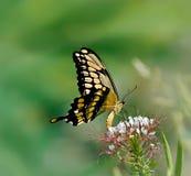 Gigantyczny Swallowtail motyl (Papilio cresphontes) Zdjęcie Stock