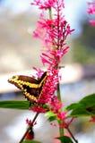 Gigantyczny swallowtail motyla karmienie Zdjęcia Royalty Free