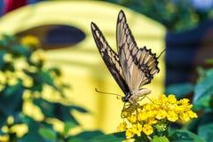 Gigantyczny swallowtail motyla karmienie Fotografia Stock