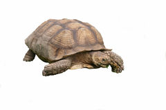 gigantyczny tortoise Fotografia Royalty Free
