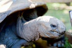 Gigantyczny tortoise Obrazy Royalty Free