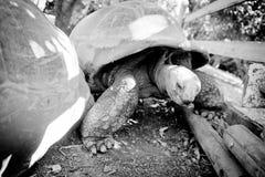 Gigantyczny tortoise Obraz Royalty Free