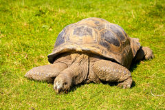 Gigantyczny tortoise Zdjęcia Royalty Free