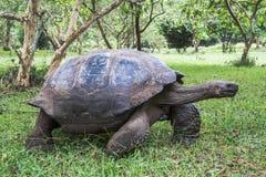 Gigantyczny tortoise Galapagos Fotografia Stock