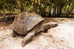 Gigantyczny tortoise na Curieuse wyspie Obrazy Stock