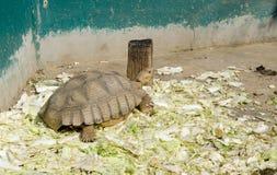 Gigantyczny tortoise na zoo Obraz Royalty Free