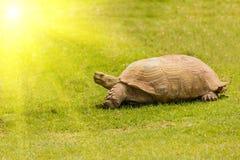 Gigantyczny tortoise odpoczywa w słońca świetle Fotografia Stock