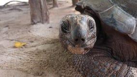 Gigantyczny tortoise patrzeje w kamerę zbiory
