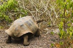 Gigantyczny Tortoise poruszający na ziemi Zdjęcia Royalty Free
