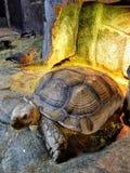 Gigantyczny Tortoise przy Austin akwarium Fotografia Royalty Free