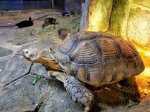 Gigantyczny Tortoise przy Austin akwarium Zdjęcia Royalty Free