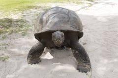 Gigantyczny tortoise przy Curieuse wyspą Obrazy Stock
