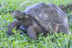 Gigantyczny Tortoise Santa Cruz w Galapagos wyspach Ekwador 11 Fotografia Royalty Free