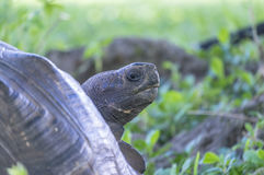 Gigantyczny Tortoise Santa Cruz w Galapagos wyspach Ekwador 13 Obrazy Stock
