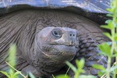 Gigantyczny Tortoise Santa Cruz w Galapagos wyspach Ekwador 1 Obraz Royalty Free