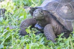 Gigantyczny Tortoise Santa Cruz w Galapagos wyspach Ekwador 4 Fotografia Stock