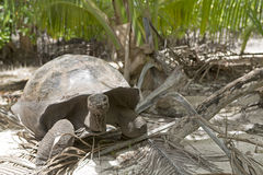 Gigantyczny tortoise w dżungli Fotografia Stock