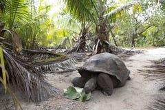 Gigantyczny tortoise w dżungli Zdjęcie Royalty Free