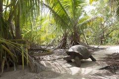 Gigantyczny tortoise w dżungli Zdjęcie Stock