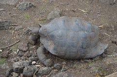 Gigantyczny Tortoise w Galapagos wyspach Zdjęcia Stock