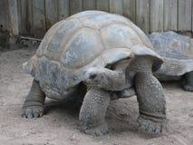 Gigantyczny tortoise w Mirtowym Plażowym akwarium Obraz Stock