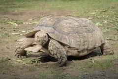 Gigantyczny tortoise w niewoli Tortoises znali kłamać ov zdjęcie stock