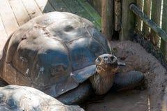 Gigantyczny tortoise w zoo Fotografia Royalty Free