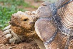 Gigantyczny tortoise w zoo Tajlandia Obraz Stock