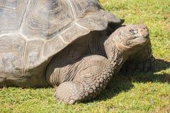 Gigantyczny tortoise wygrzewa się w słońcu, Tortoise Aldabra gigant Zdjęcie Stock