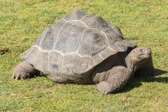 Gigantyczny tortoise wygrzewa się w słońcu, Tortoise Aldabra gigant Zdjęcia Royalty Free