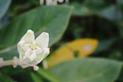 Gigantyczny trojeść kwiat; tembega kwiat lub gigant trojeści Indiański kwiat Zdjęcie Stock
