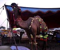 Gigantyczny wielbłąd w Faisalabad Pakistan przygotowywający dla Eid Fest Zdjęcia Royalty Free