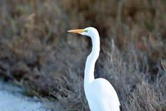 Gigantyczny wielki egret obraz stock