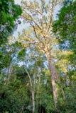 Gigantyczny Yellowwood drzewo w Tsitsikamma, Południowa Afryka Obraz Royalty Free