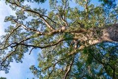 Gigantyczny Yellowwood drzewo w Tsitsikamma, Południowa Afryka Obrazy Stock