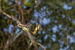 Gigantyczny złoty okręgu tkacza pająk lub jemy jego zdobycza Nephila pilipes typowo znajdujący w Azja zdjęcie royalty free