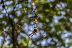 Gigantyczny z?oty okr?gu tkacza paj?k lub jemy jego zdobycza Nephila pilipes typowo znajduj?cy w Azja zdjęcie royalty free