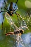 Gigantyczny z?oty okr?gu tkacza paj?k lub jemy jego zdobycza Nephila pilipes typowo znajduj?cy w Azja obraz royalty free