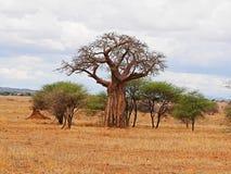 Gigantyczny zielony baobab Fotografia Stock