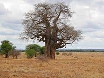 Gigantyczny zielony baobab Obraz Royalty Free