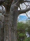 Gigantyczny zielony baobab Obraz Stock