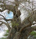 Gigantyczny zielony baobab Zdjęcie Royalty Free
