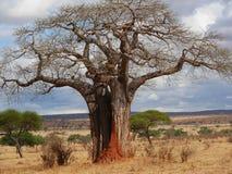Gigantyczny zielony baobab Obrazy Stock