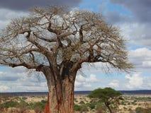 Gigantyczny zielony baobab Fotografia Royalty Free