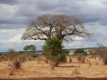 Gigantyczny zielony baobab Zdjęcia Royalty Free