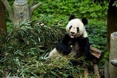 Gigantycznych pand niedźwiedzie Zdjęcie Stock