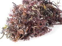 Gigartina Pistillata. Edible red seaweed in the family Gigartina. Binomial name: Gigartina Pistillata. Salted for conservation stock image