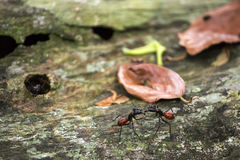 Gigas Camponotus ή γιγαντιαίο δασικό μυρμήγκι Στοκ εικόνες με δικαίωμα ελεύθερης χρήσης