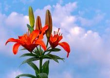 Gigli arancio gloriosi immagine stock