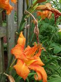 Gigli arancioni Fotografie Stock